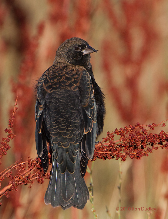 red-winged blackbird with crossed bill