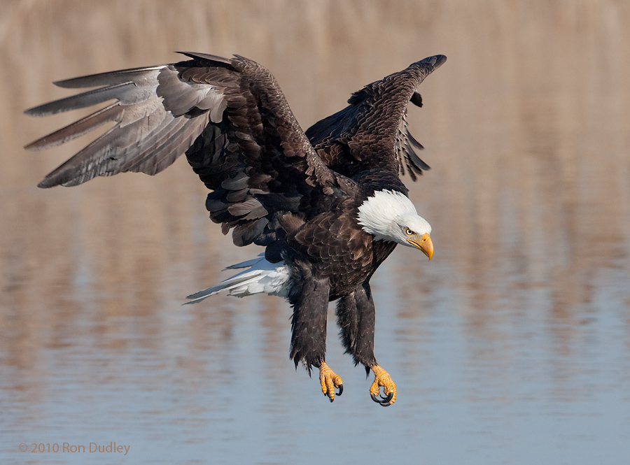 Bald Eagles in Utah « Feathered Photography