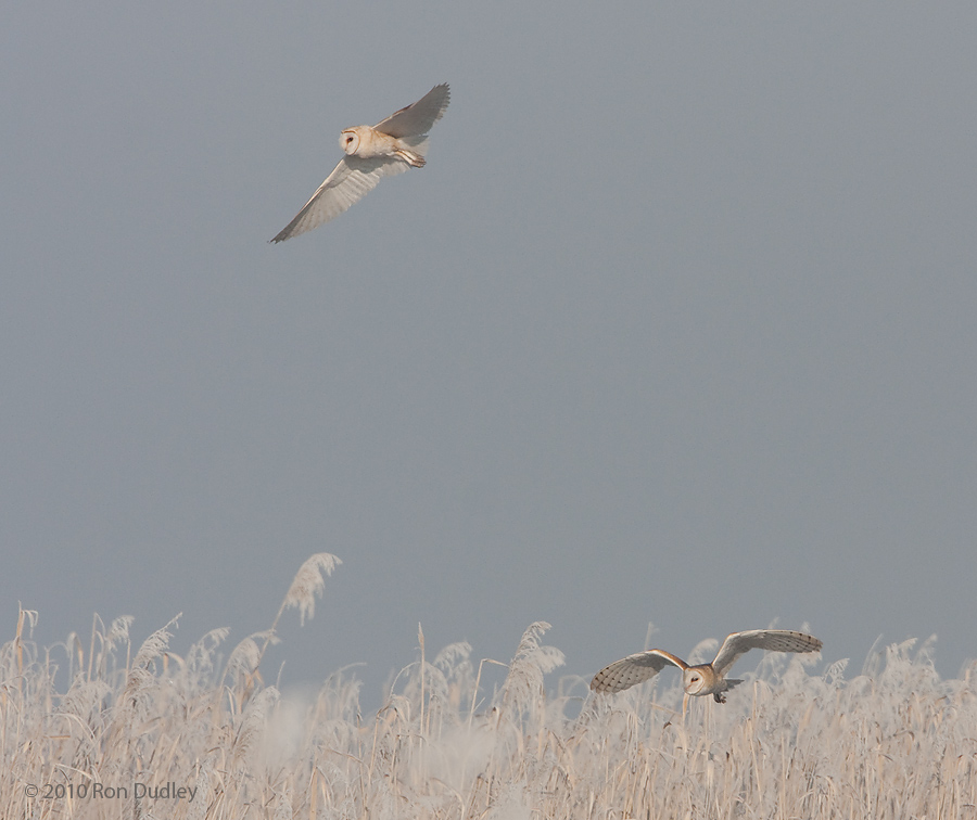 Two Barn Owls hunting