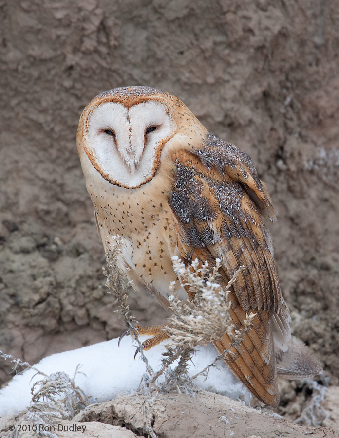 Barn Owl in a gulley
