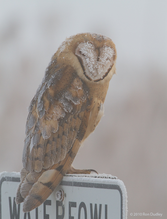 Barn Owl in the fog and ice