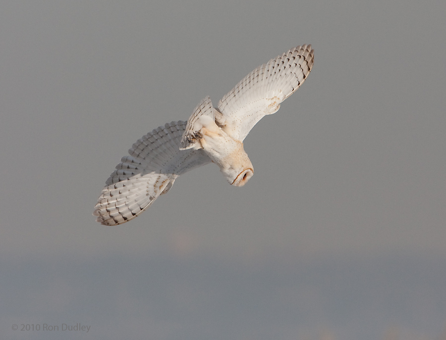 Barn Owl diving on prey