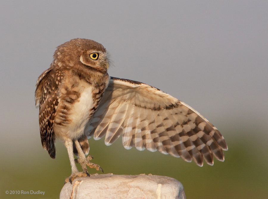 Burrowing Owls Clowns Of The Bird World 171 Feathered