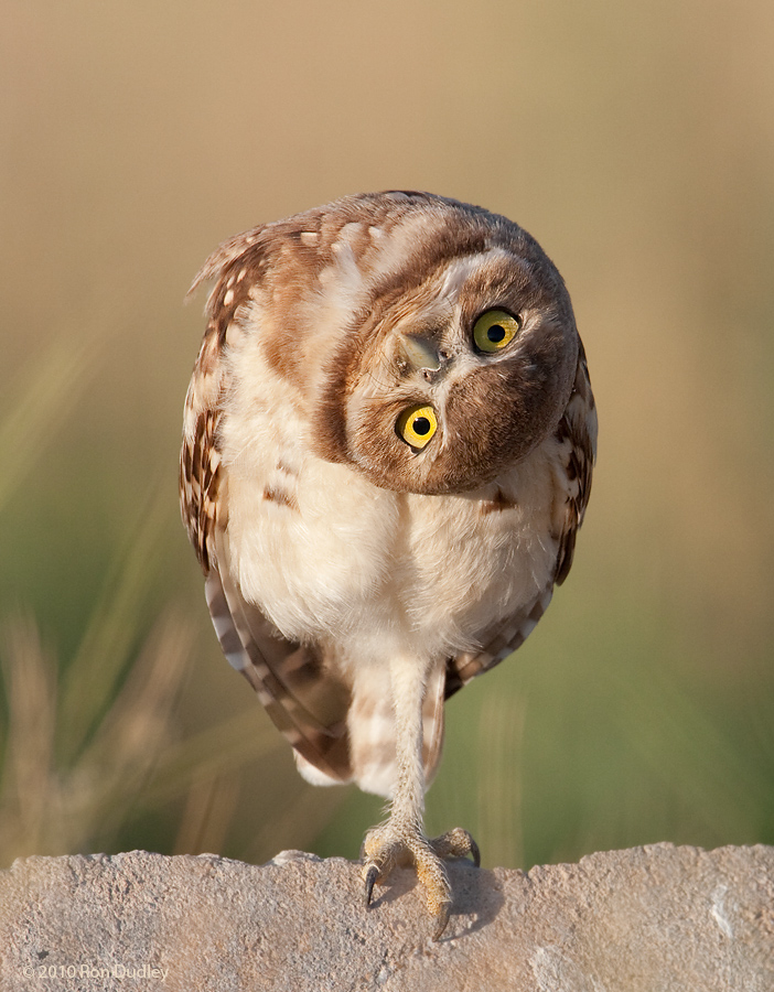 Topsy turvy owl