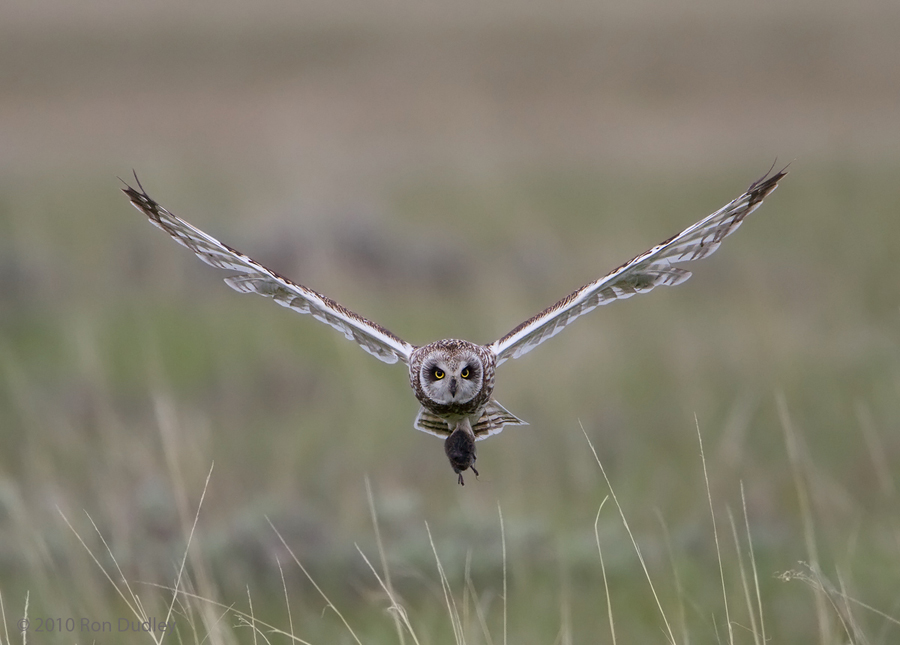Male Short-eared Owl with vole, head on