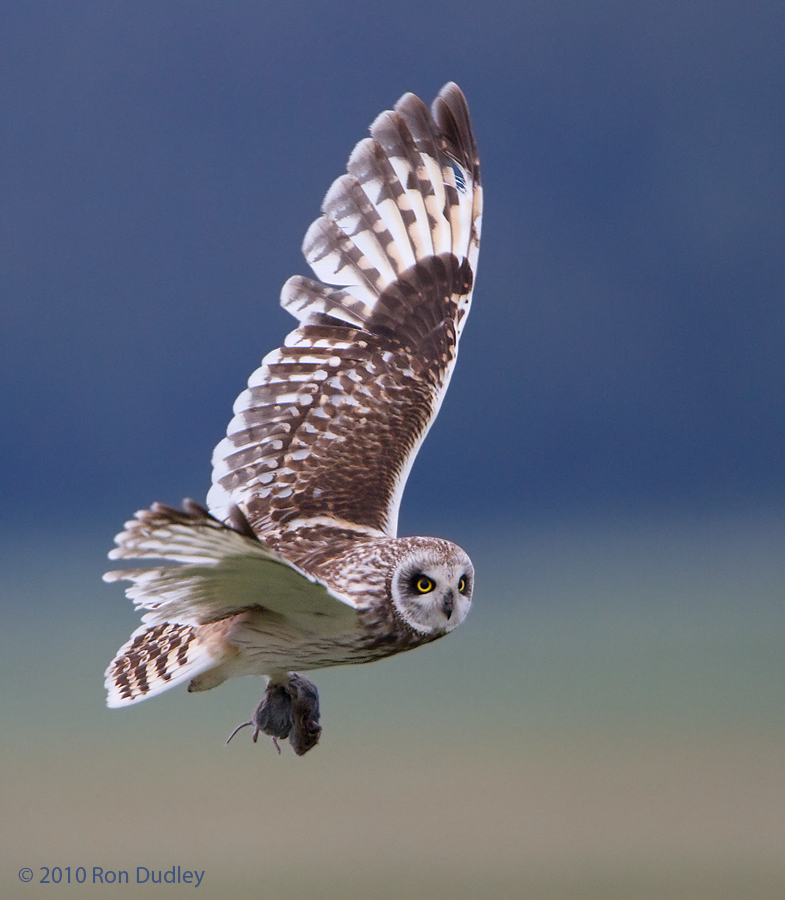 Male Short-eared Owl with vole
