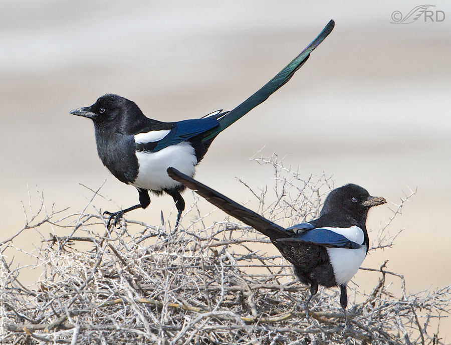 Mated pair of Black-billed Magpies
