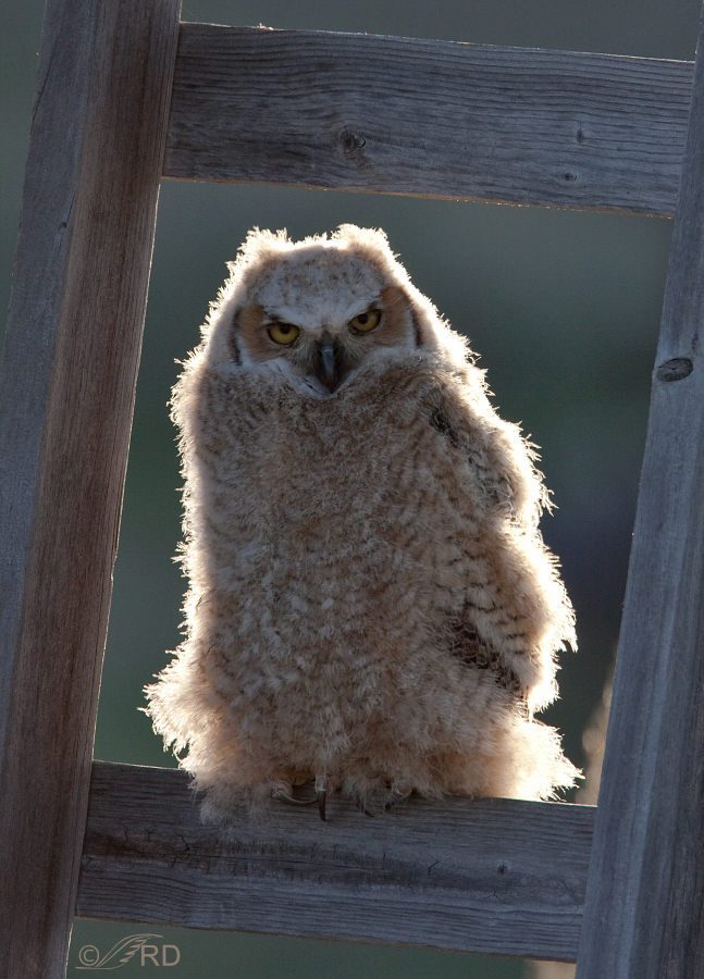 Rim lighting on a Great Horned Owl chick