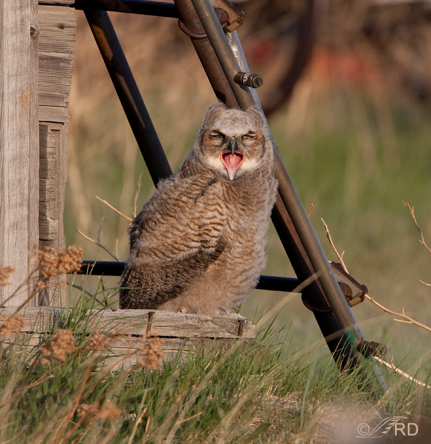 Yawning Great Horned Owl fledgling