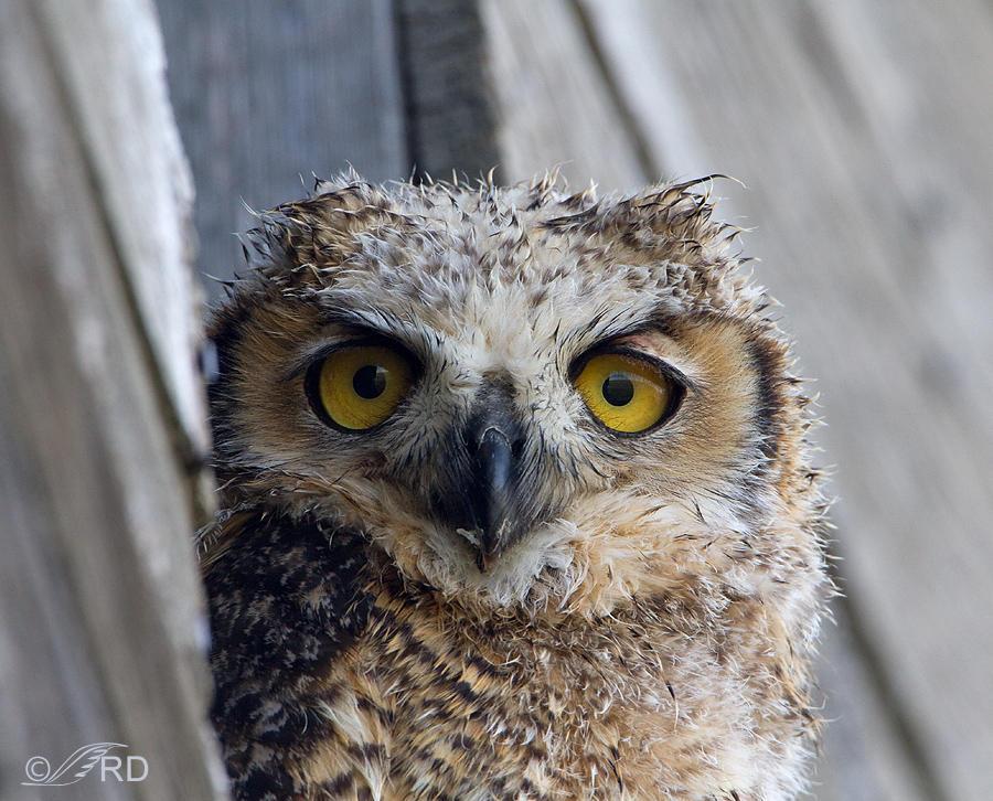 Wet Great Horned Owl fledgling