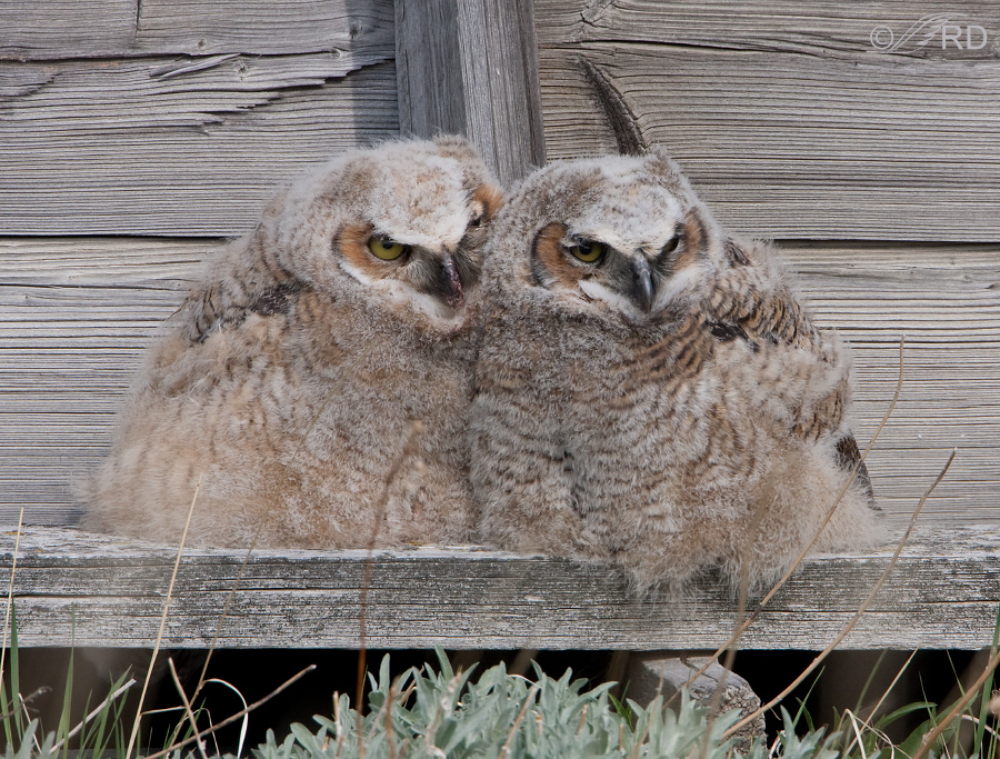 Great Horned Owl siblings