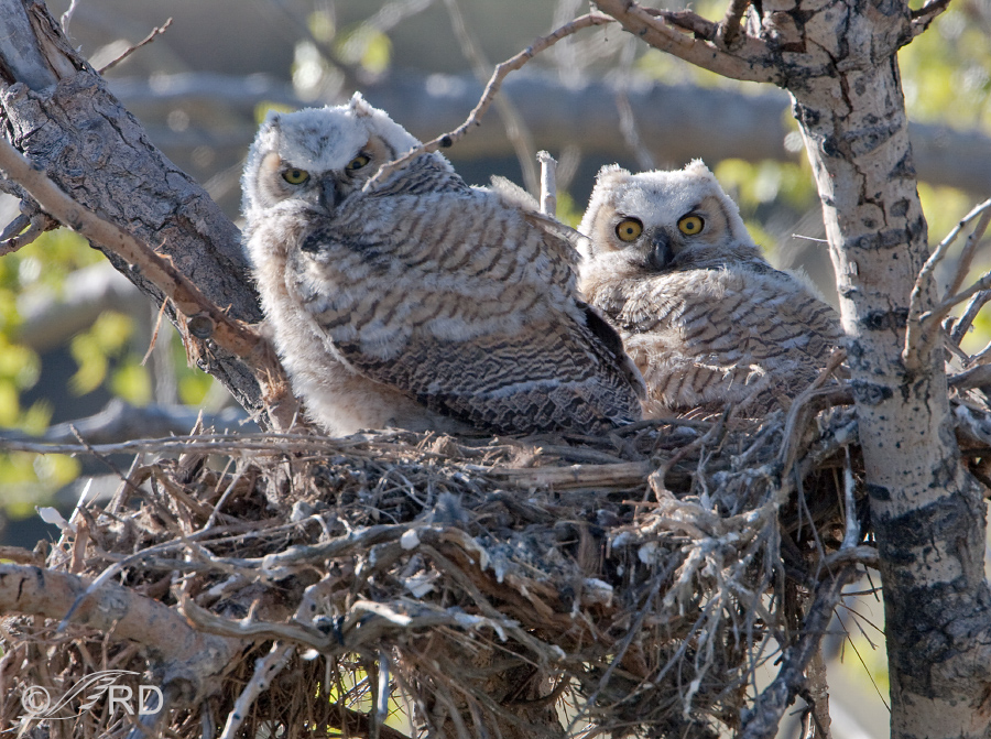 Great Horned Owl chicks in tree nest