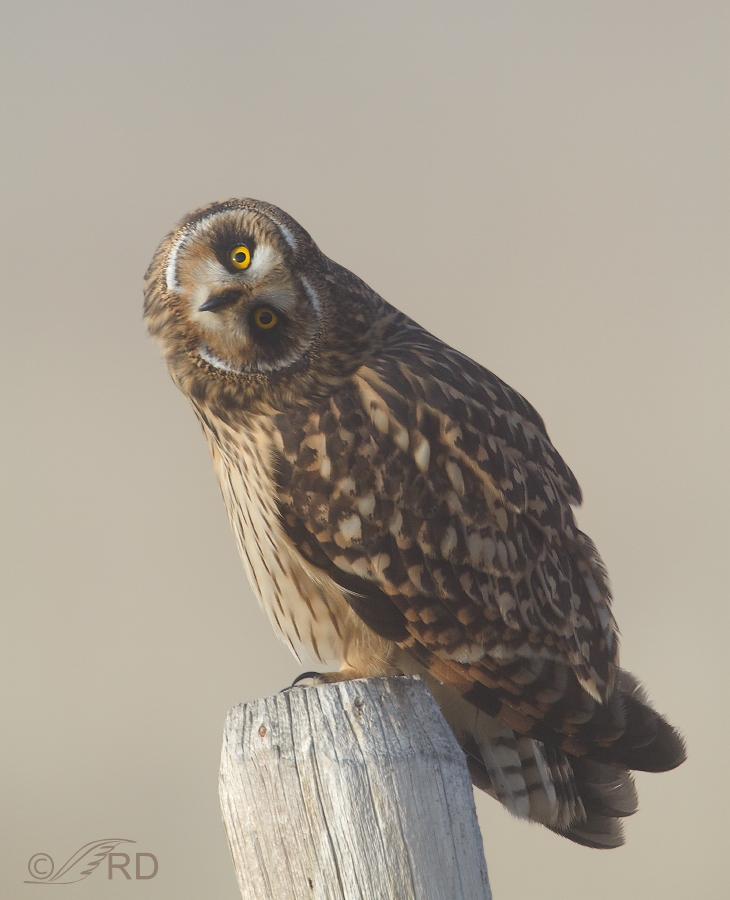 Short-eared Owl paralallaxing