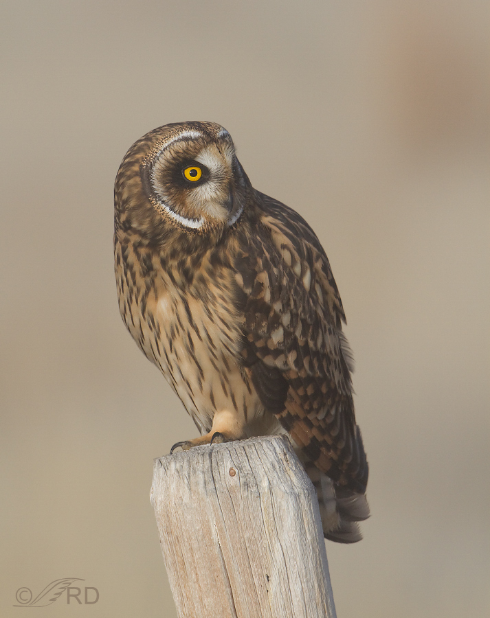 short eared owl female in fog