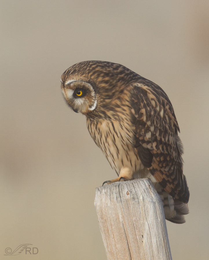 Short-eared Owl female looking for voles
