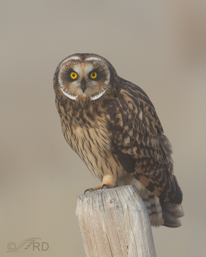 Short-eared Owl checking us out