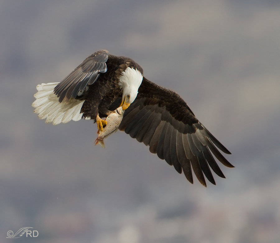 Bald Eagle Eating a Fish in Mid-air « Feathered Photography