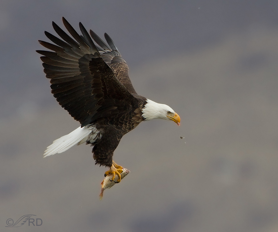 bald eagle eating a fish in mid air feathered photography