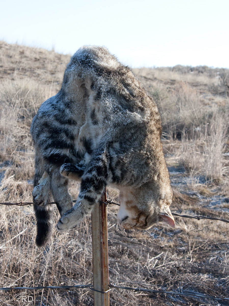 Cat impaled on fence post