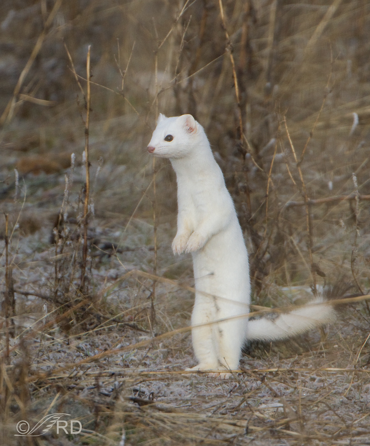 Long-tailed Weasel, winter molt