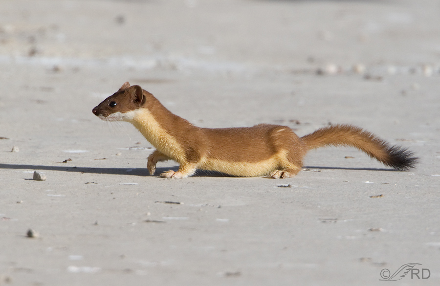 Long-tailed Weasel, summer molt