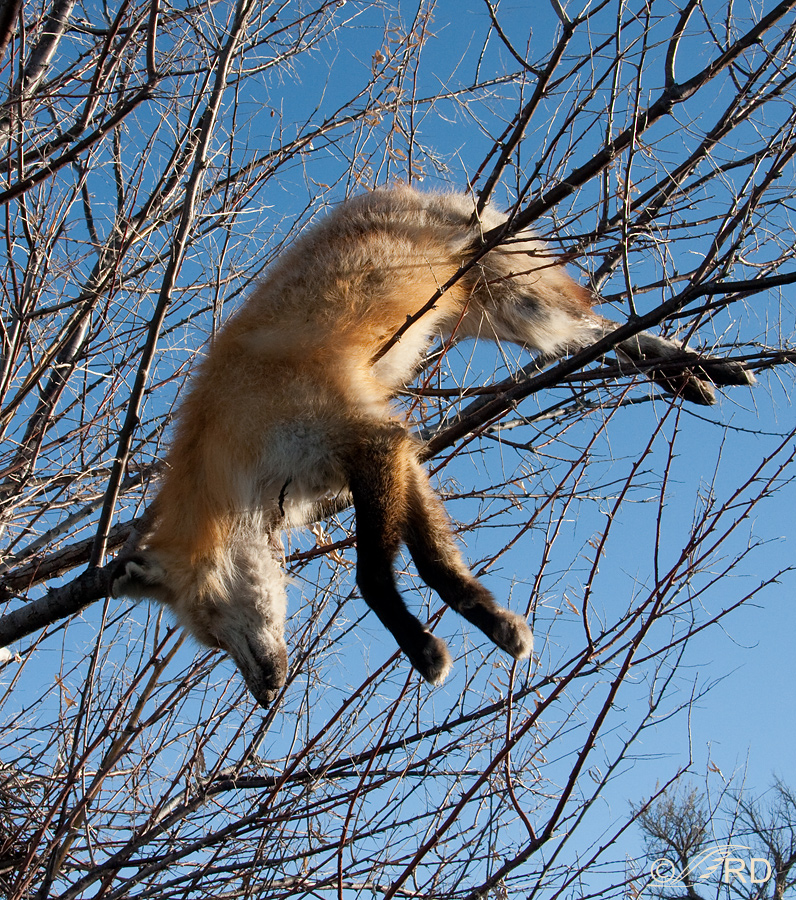 Second Red Fox in tree