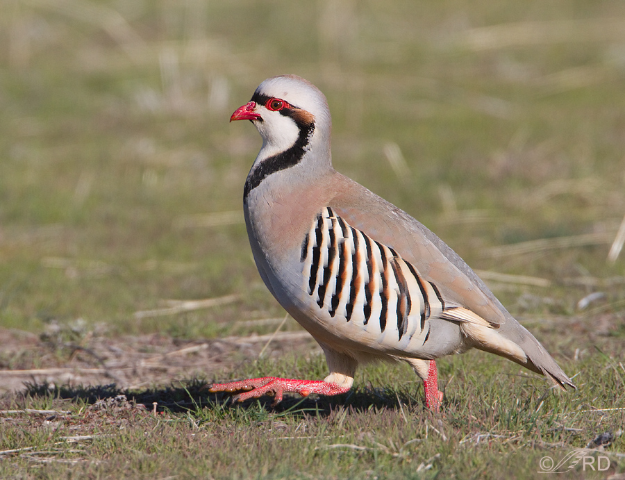 Chukar on the run