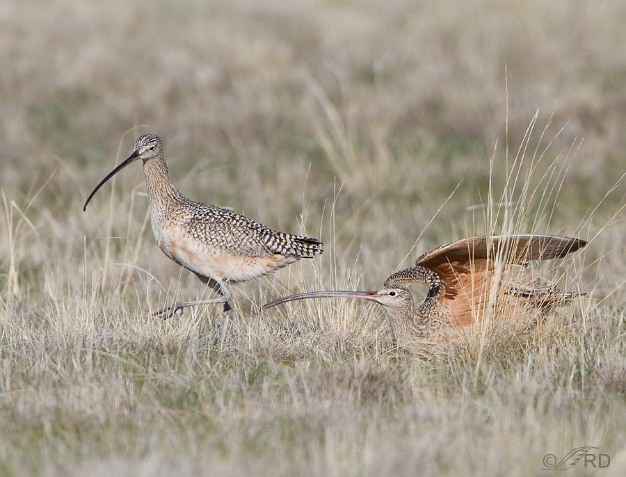 Long-billed Curlew, male and female