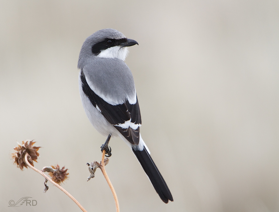 Loggerhead Shrike on dried sunflower