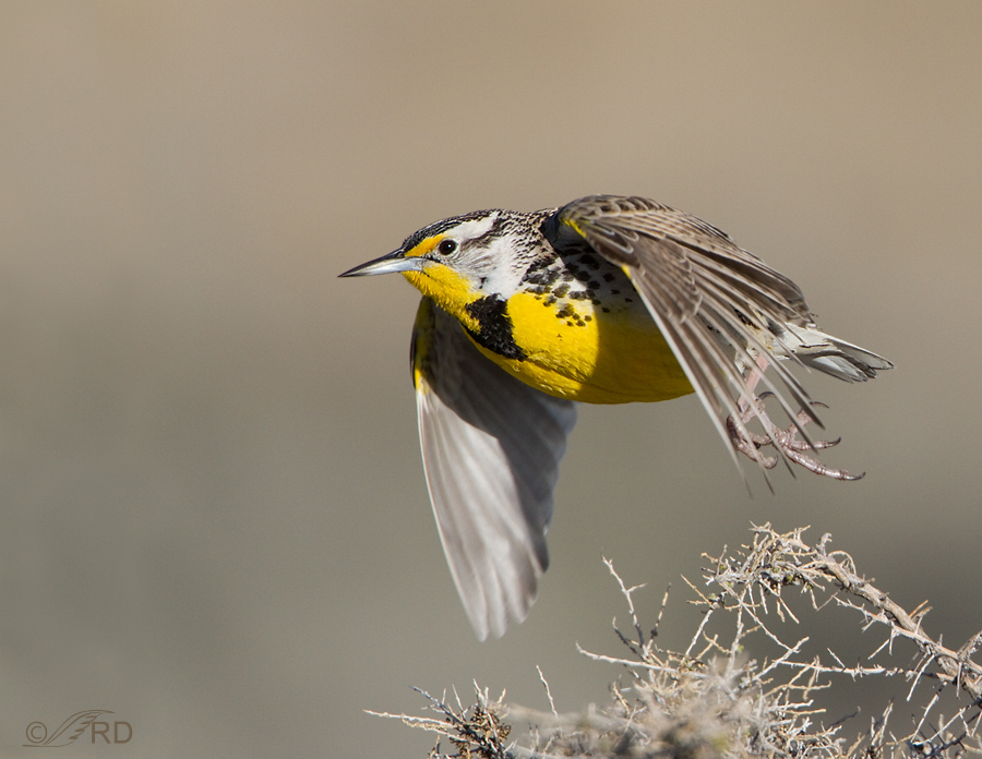 Western Meadowlark take-off
