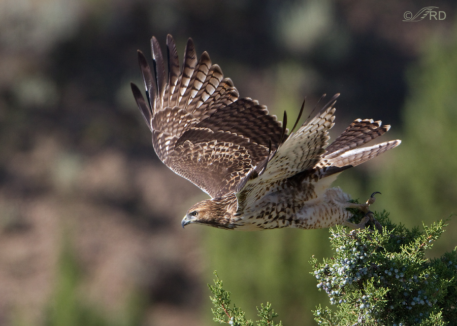 red-tailed-hawk-8062