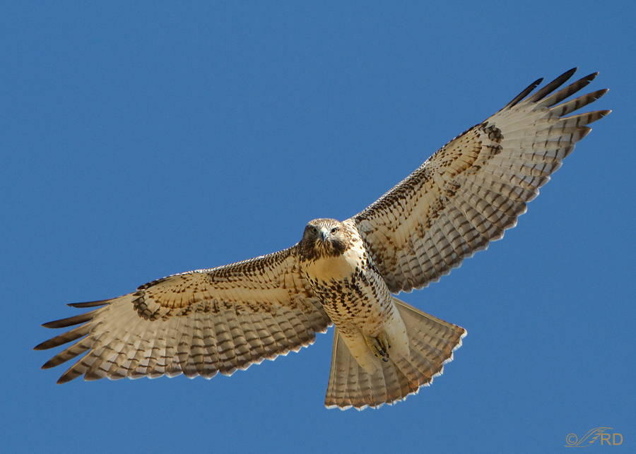 red-tailed-hawk-8133