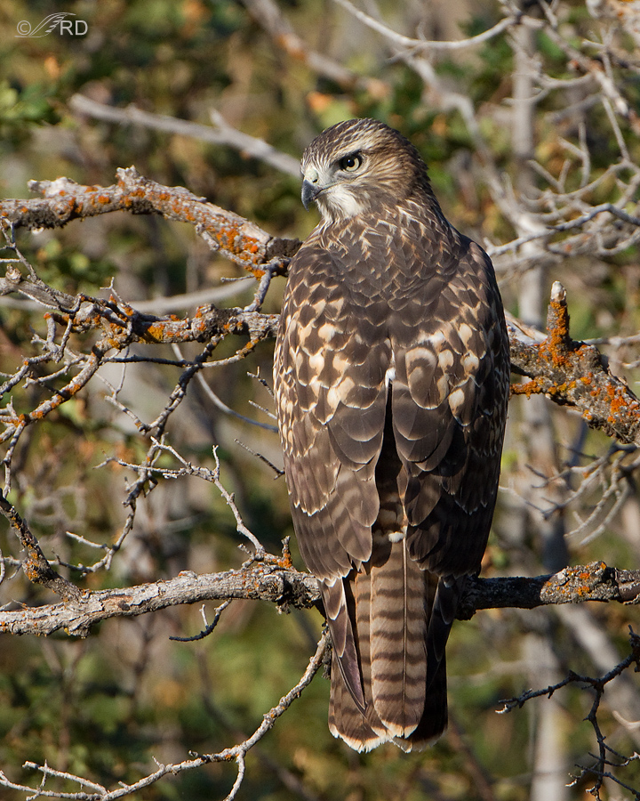 red-tailed-hawk-8362