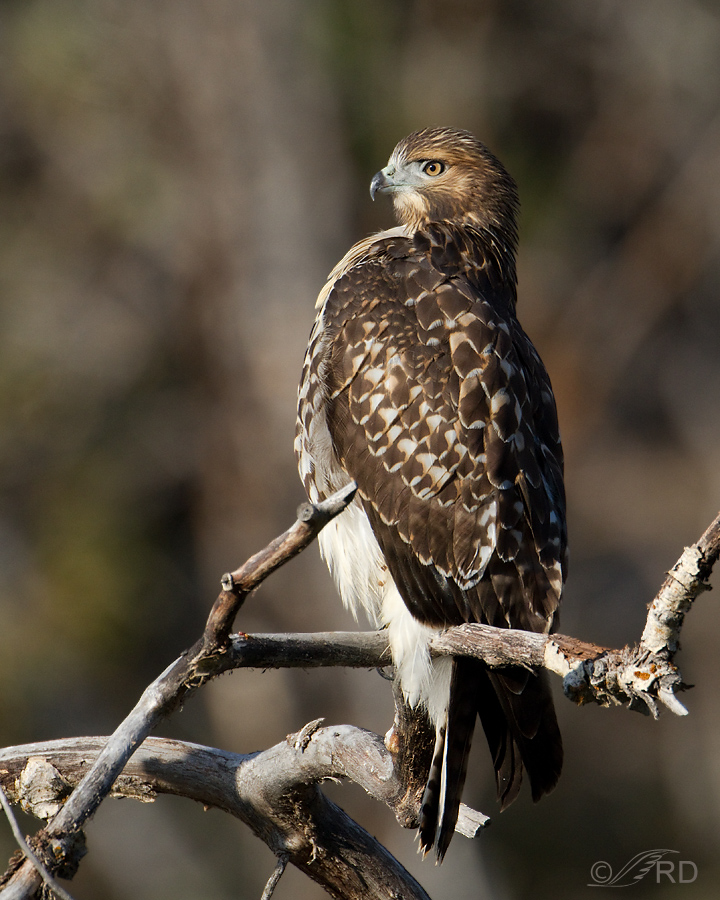 red-tailed-hawk-8401