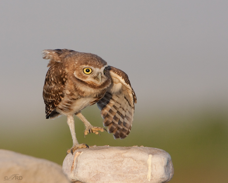 burrowing-owl-0159