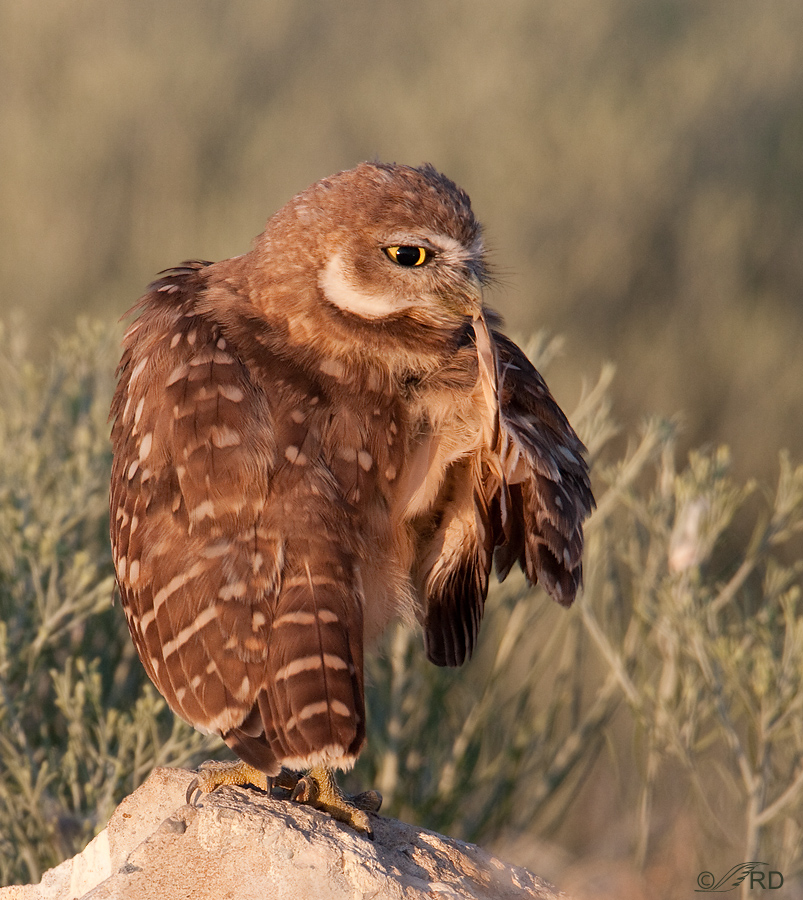 burrowing-owl-2010