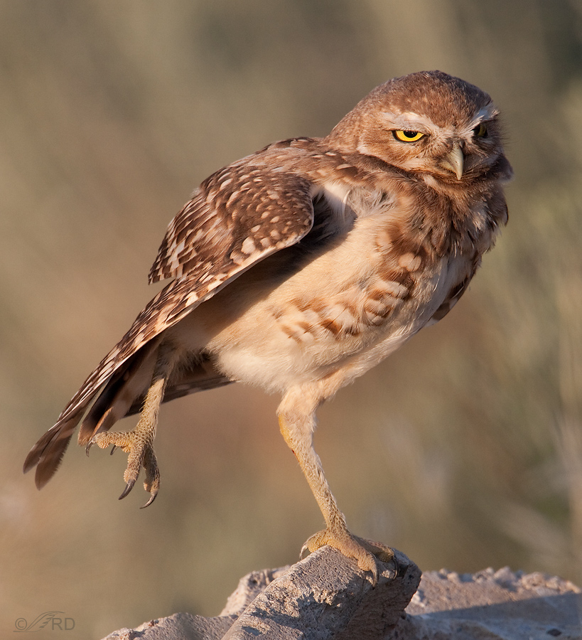 burrowing-owl-2086