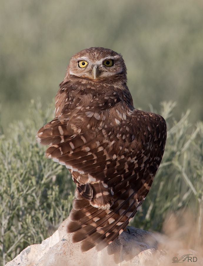 burrowing-owl-2247