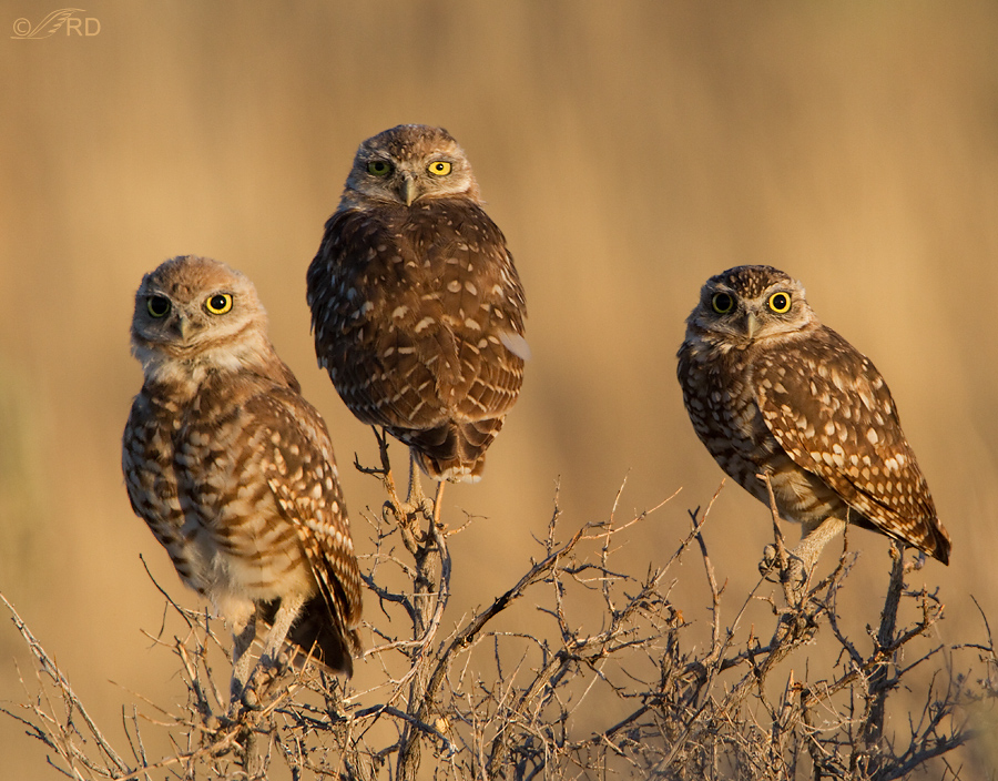burrowing-owl-2455