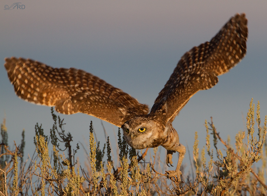 burrowing-owl-2809