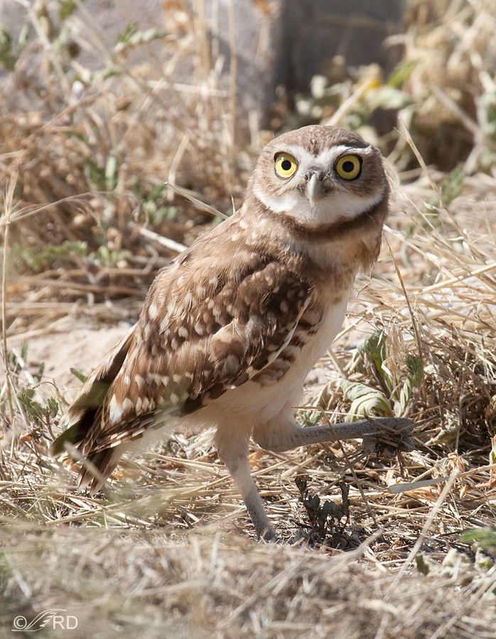 burrowing-owl-6658