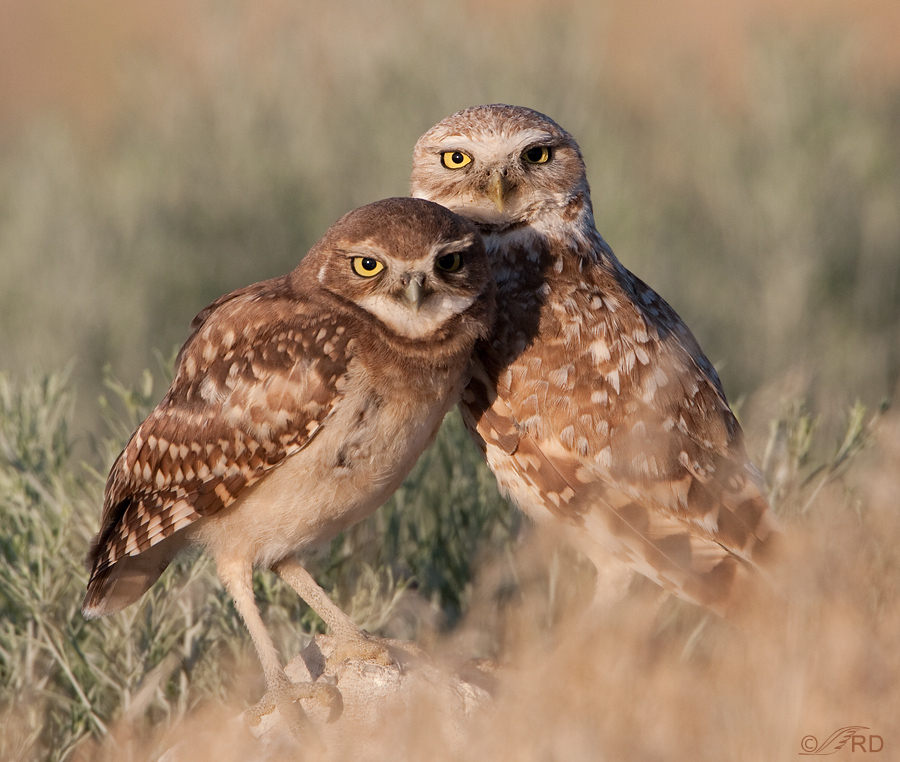 burrowing-owl-8859