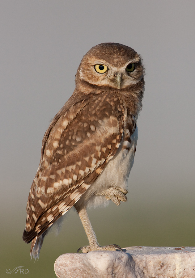 burrowing-owl-9527