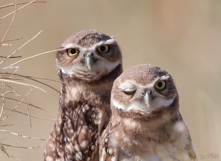 burrowing-owl-9281