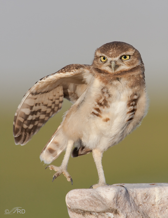 burrowing-owl-9615