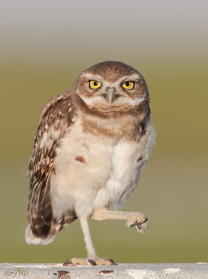 burrowing-owl-9624