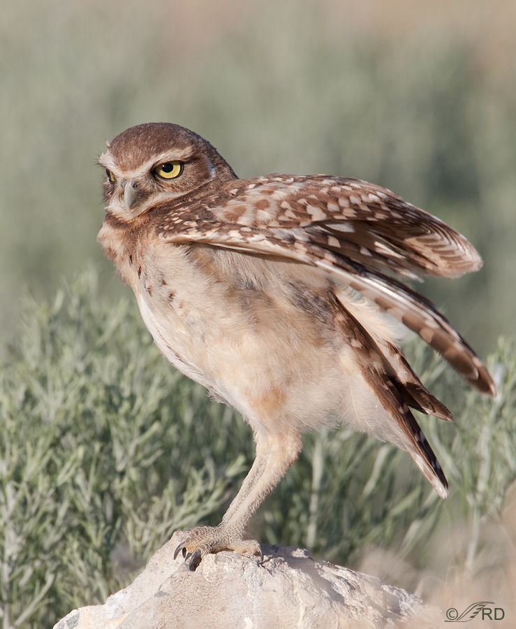 burrowing-owl-9829