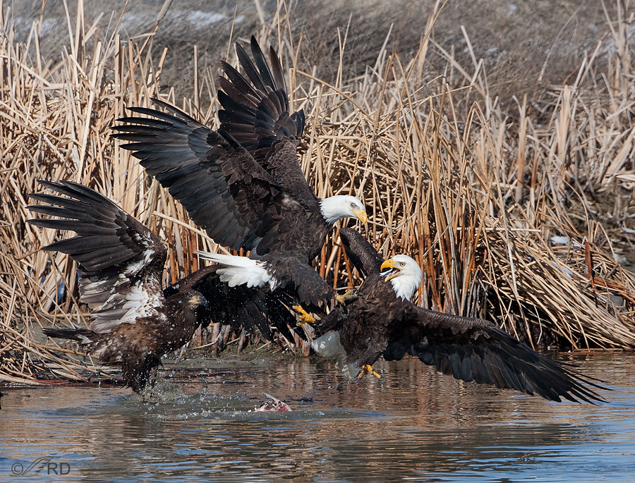 bald-eagles-2562