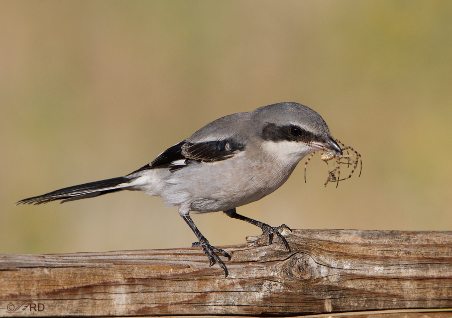 northern-shrike-3819