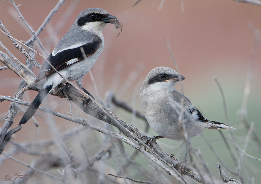 northern-shrikes-0424